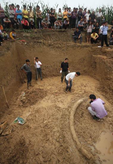安徽/长约3米的古象牙化石的发掘现场。新华社胡卫国摄